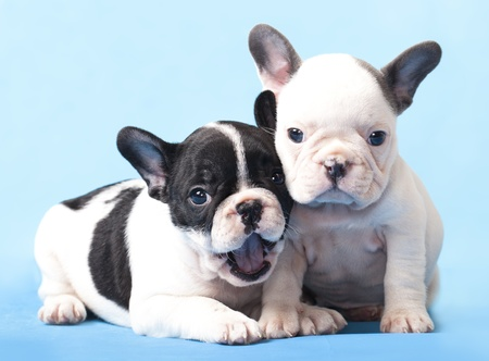 couple in love French bulldogs, puppy Stock Photo - 12195215