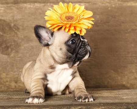 French bulldogs puppy photo