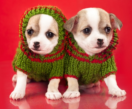 hand baskets: puppy chihuahua dressed  sweater  in red background