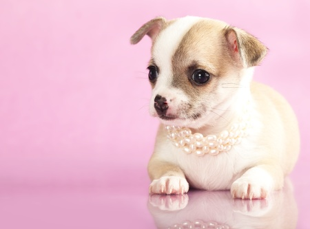 portrait of a cute purebred puppy chihuahua with pearl collar in front of pink background  photo