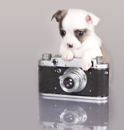 chihuahua Junior Fotograf Stock Photo - 12195218