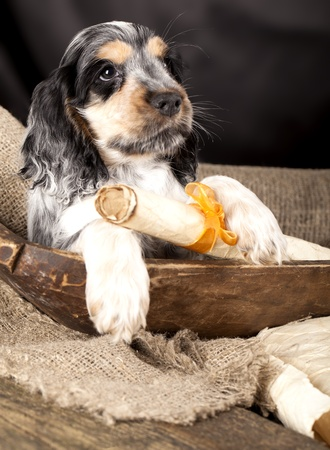 english cocker spaniel: spaniel puppy  holding in its claws a scroll with a declaration of love