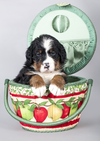 berner: Berner Sennenhund  Stock Photo