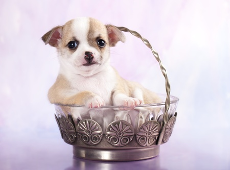 puppy in sugar bowl photo