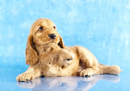 イングリッシュ ・ コッカー ・ スパニエル (子犬の青い背景に