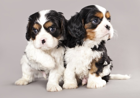 cavalier: Litter of Cavalier King Charles spaniel puppies on gray background