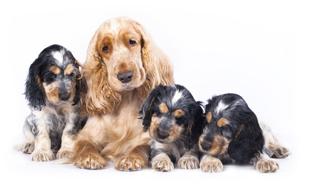 english cocker spaniel: family English Cocker Spaniel dogs in front of a white background Stock Photo