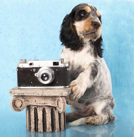 english cocker spaniel: English cocker spaniel puppy and camera