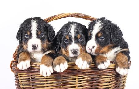 sennenhund: bernese sennenhund puppies in basket on a white background