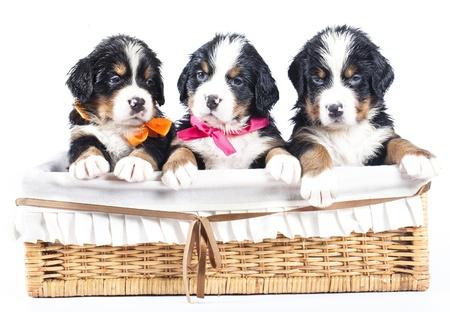 sennenhund: bernese Sennenhund cucciolo