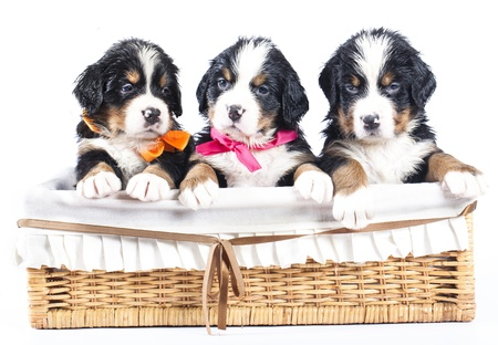 bernese sennenhund puppy photo