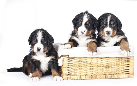 sennenhund: Bovaro bernese cucciolo