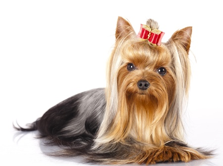yorky: yorkshire terrier on the white background  Stock Photo