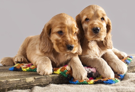 English cocker spaniel  puppy  photo