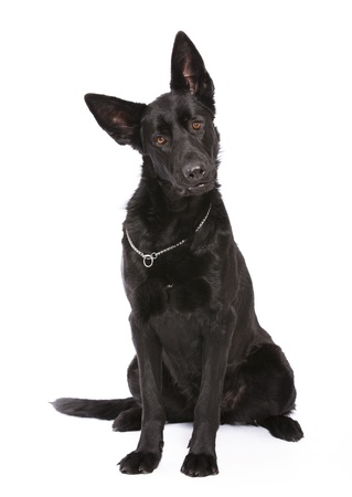 Black Shepherd in white background photo