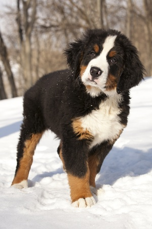 Bernese sennenhund puppy  Stock Photo - 12803746