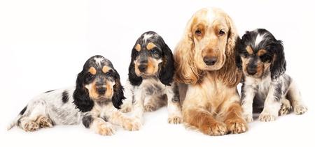 英国のコッカーを純血種の子犬と成人スタジオ