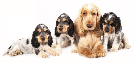 puppy purebred english cocker and adult in studio  photo