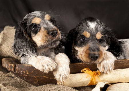puppy English cocker spaniel Stock Photo - 12803759