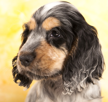 puppy English cocker spaniel  Stock Photo - 12803681
