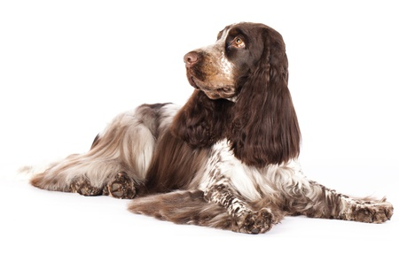 English Cocker Spaniel chocolate color, marble color Stock Photo - 12803643