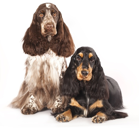 English cocker spaniel  Stock Photo - 12803646