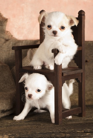 puppy Chihuahua  photo