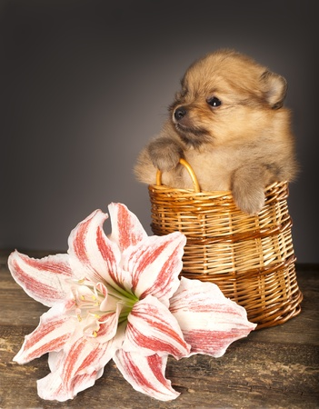 puppy spitz and flower pink gippeastrum photo