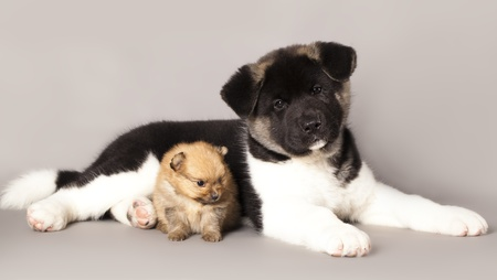 puppy spitz and akita photo