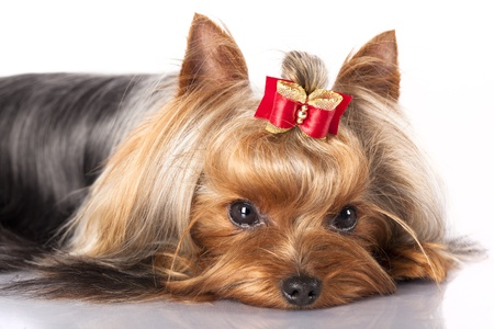 yorkshire terrier on the black background photo