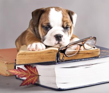 英語のブルドッグと本、およびガラス
