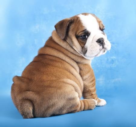 english Bulldog  puppy photo