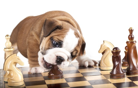 chess game: Puppy english Bulldog  and chess
