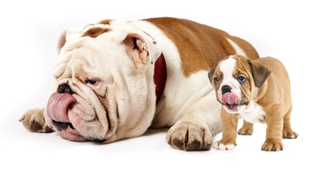 father and son dogs - english bulldog puppy tongue licking nose