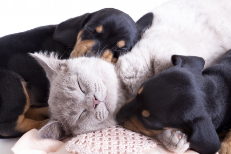 cat sleeping: British kitten rare color  lilac  and puppies dachshund