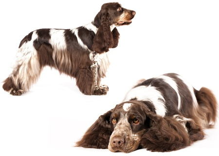 english cocker spaniel: English Cocker Spaniel  purebred dog Stock Photo