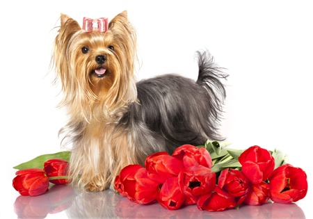 yorky: yorkshire terrier and spring flowers tulips  Stock Photo
