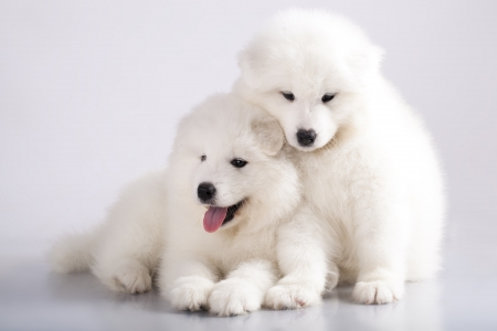 Two funny puppies of Samoyed dog  or Bjelkier , one with tongue out  photo