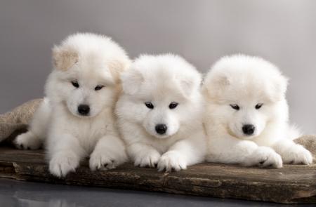 poco: cachorros de perro samoyedo divertidos Foto de archivo