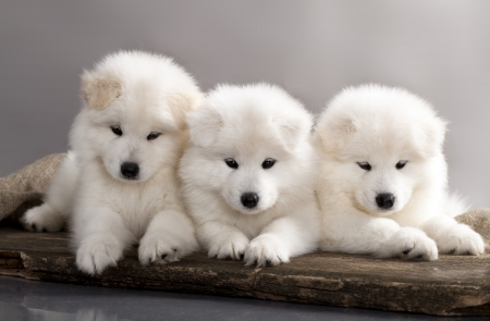herder: funny puppies of Samoyed dog