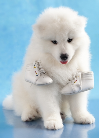 lovable: puppy of Samoyed dog and shoes Stock Photo