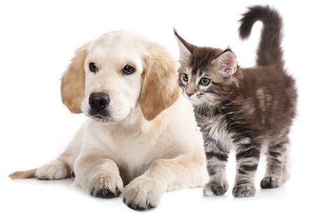 래브라도 강아지와 새끼 고양이 월 쿵, 고양이와 개를 사육 스톡 콘텐츠