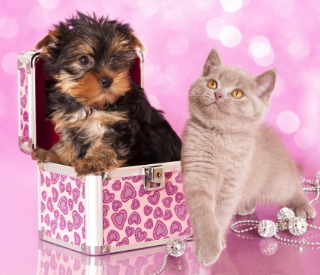 cat grooming: Yorkshire Terrier puppie  and british  kitten, cat and dog Stock Photo