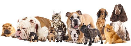 large group of animals: Group of cats and dogs in front of white background