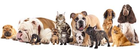 Groupe de chats et de chiens en face de fond blanc