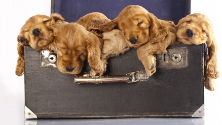 English Cocker spaniel puppy sleeping  photo
