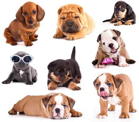 別の品種は、ダックスフント、シャーペイ、ロットワイラー、ブルドッグ、フレンチ ブルドッグの子犬。