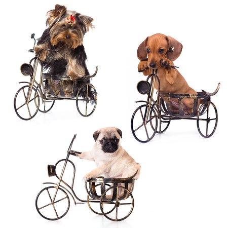 dachshund: Puppies on a bicycle yrkshirsky Terrier, Dachshund, Pug Stock Photo