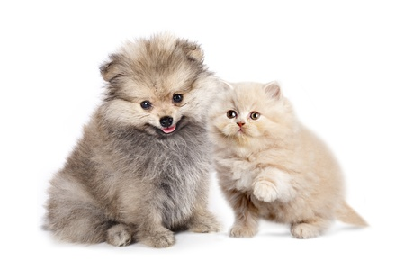 siamese cat: Friends - small Puppy spitz and kitten  persian