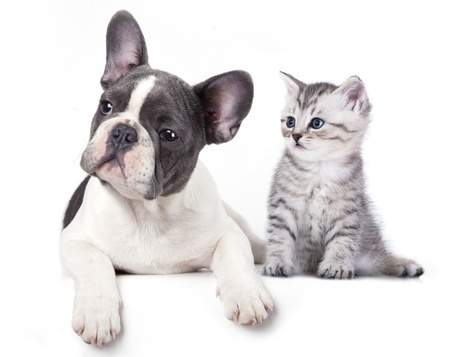 white cats:  Cat and dog, British kitten and  French Bulldog puppy